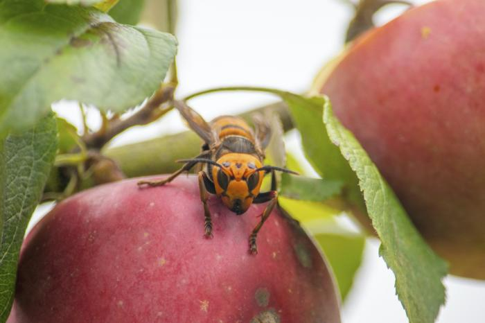 A live Asian giant hornet with a tracking device affixed to it sits on an apple in a tree where it was placed, near Blaine, Wash.